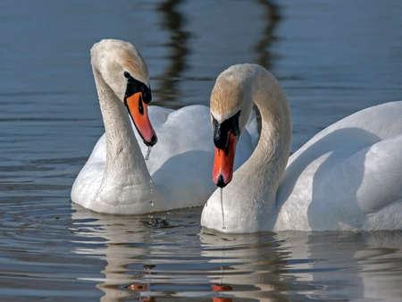 cygnus olor: Family of Mute Swan (Cygnus olor)