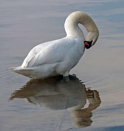 Close-up of Mute Swan (Cygnus olor) Stock Photo