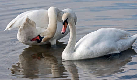 conjunction: Family of Mute Swan (Cygnus olor)