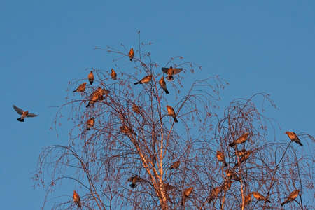 Many birds on the tree. Bohemian Waxwing (Bombycilla garrulus) and Fieldfare (Turdus pilaris).