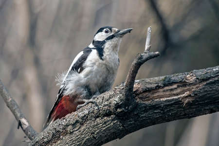 Woodpecker sitting on the tree. Great Spotted Woodpecker (Dendrocopos major), female. Stock Photo