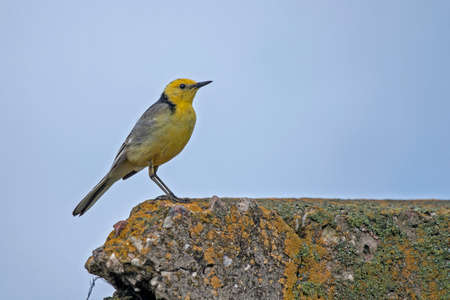 motacilla: Wagtail sitting on the concrete fence. Citrine Wagtail (Motacilla citreola). Foto de archivo