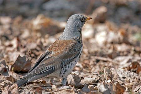 pilaris: Fieldfare (Turdus pilaris) sitting of the ground