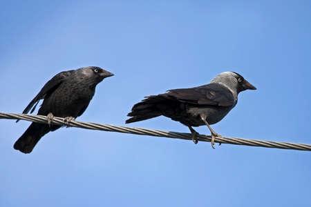 Two birds sitting on the wires. Jackdaw (Coloeus monedula).