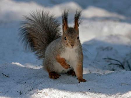 Squirrel sitting on the snow. Eurasian red squirrel (Sciurus vulgaris). Stock Photo