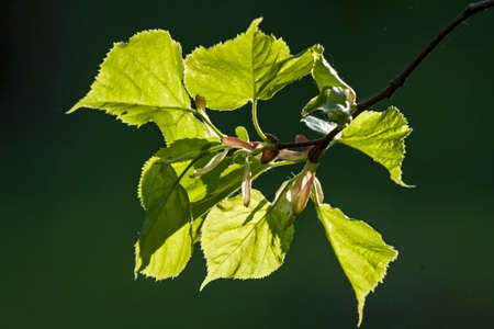 Young spring branch of the tilia