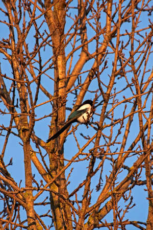 Eurasian magpie (Pica pica) sitting on the tree Reklamní fotografie