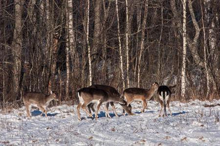 Flock of Fallow deer (Dama dama)