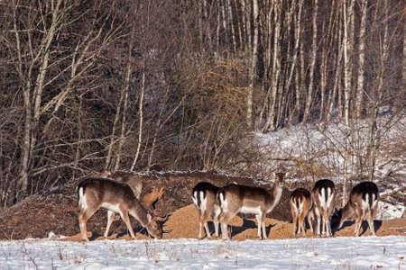 Flock of Fallow deers (Dama dama) on the hunting feeder