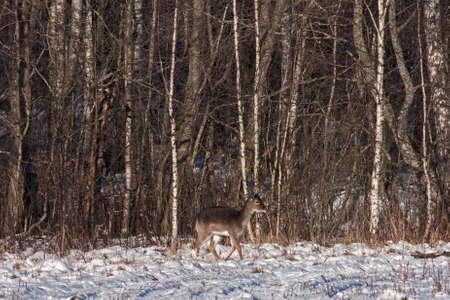 Fallow deer (Dama dama), female