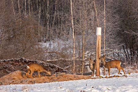Flock of Roe deer (Capreolus capreolus) on the hunting feeder