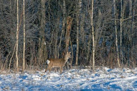 Roe deer (Capreolus capreolus) in the winter forest