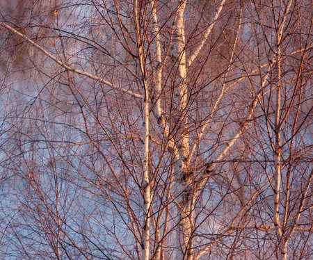 Frozen birch tree in the sunrise light Reklamní fotografie