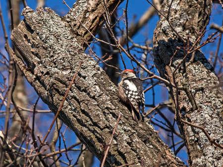 Woodpecker sitting in the tree. Middle spotted woodpecker or European woodpecker (Dendrocoptes medius), male. Reklamní fotografie