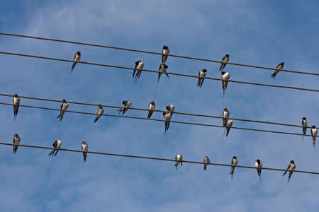 Many swallows sitting on the wires. Barn swallow (Hirundo rustica).