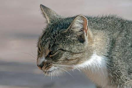 Portrait of the tabby cat Reklamní fotografie