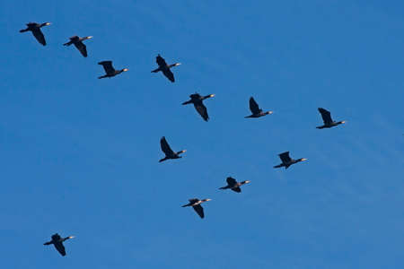 Flock of the cormorants flying on the blue sky. Great cormorant (Phalacrocorax carbo).