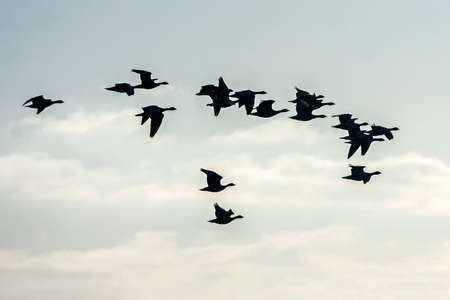 Flock of the gooses flying on the sky. Greater white-fronted goose (Anser albifrons). 写真素材