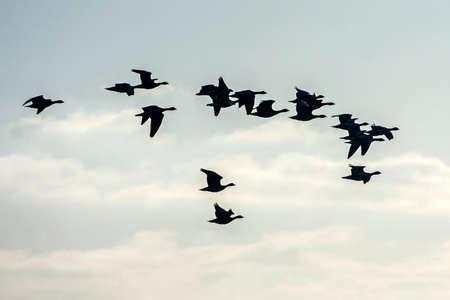 Flock of the gooses flying on the sky. Greater white-fronted goose (Anser albifrons). Reklamní fotografie