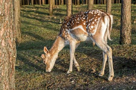 Close-up of spotted deer. Sika deer or spotted deer or Japanese deer (Cervus nippon). Reklamní fotografie