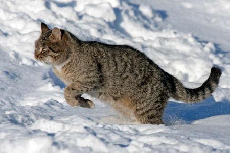 Tabby cat jumping on the snow Reklamní fotografie