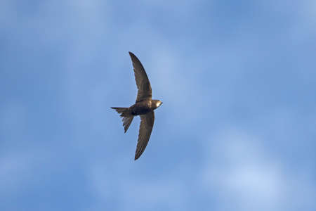 Flying swift. Common Swift (Apus apus). Stock Photo