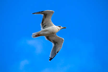 Seagull flying on the blue sky. European herring gull (Larus argentatus).