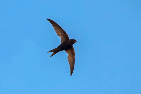 Flying swift. Common Swift (Apus apus). Stock Photo