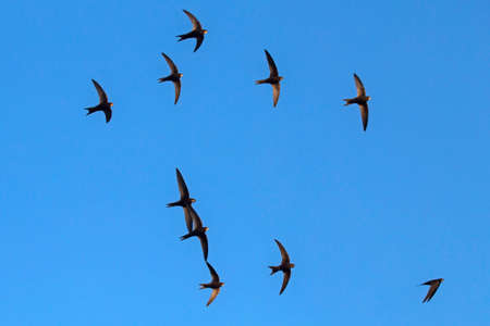 A flock of flying black swifts. Common Swift (Apus apus).