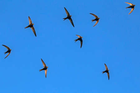 A flock of  flying black swifts. Common Swift (Apus apus). Stock Photo