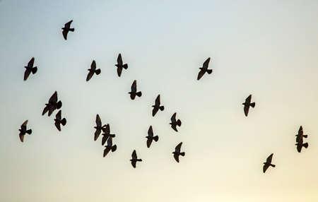 Flock of pigeons flying on the sky. Rock dove or common pigeon (Columba livia). Standard-Bild