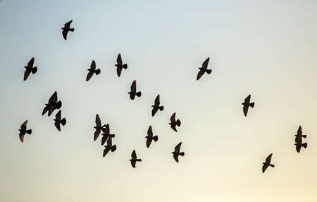 Flock of pigeons flying on the sky. Rock dove or common pigeon (Columba livia). Banco de Imagens