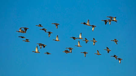 A large flock of ducks flying on the blue sky. Mallard, or Wild duck (Anas platyrhynchos). Stock Photo