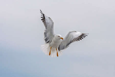 Flying seagull. Lesser Black-backed Gull (Larus fuscus). Standard-Bild