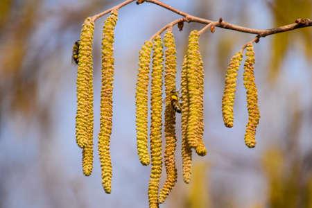 Pollination by bees earrings hazelnut. Flowering hazel hazelnut. Hazel catkins on branches Stock Photo
