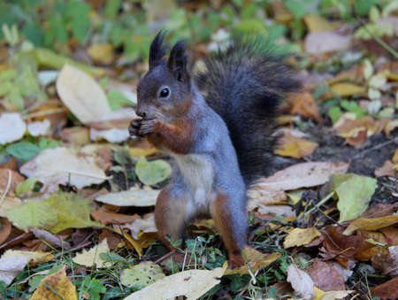 Common forest squirrel in the forest park. Stock Photo