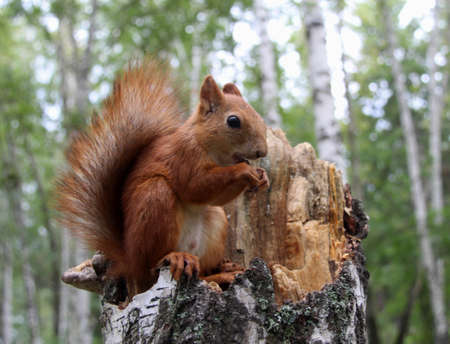 bushy plant: Common forest squirrel in the forest park. Stock Photo