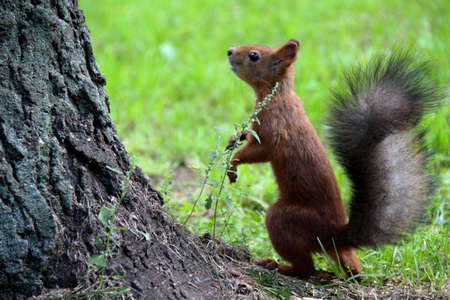 cirrus: Common forest squirrel in the forest park. Stock Photo