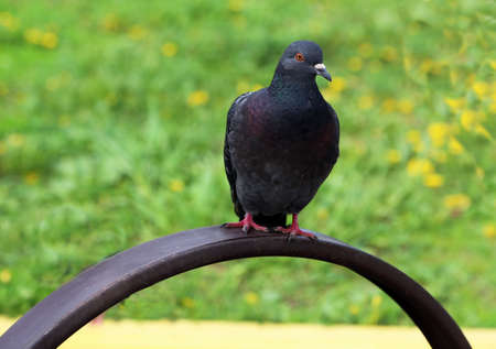 scavenger: Common blue-gray doves in the city. Bird, who lives next to the man. Single pigeon sitting. Stock Photo
