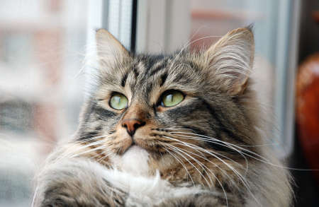 chordates: Cats, a lovely fluffy a pets
