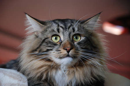 chordates: a Cats, lovely fluffy a pets. kitty