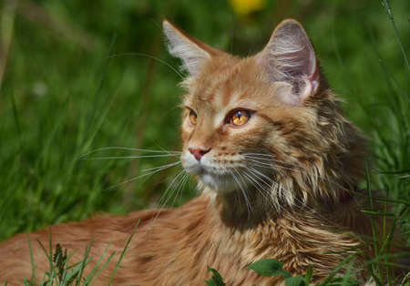 chordates: a Cats, lovely fluffy a pets. kitten Stock Photo