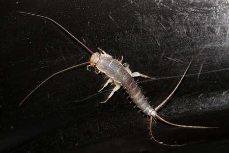 紙魚。昆虫 Lepisma サッカリナ、通常の生息地で Thermobia イエバエ 写真素材