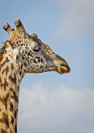 Giraffe in the wild. An animal with a long neck. Wild world