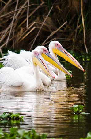 Pelican Bird in Africa. a Waterfowl Pelican Stock Photo