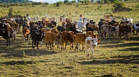 Herd of Jersey cows in the Natal Midlands, Africa 免版税图像