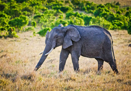 Elephants in the African savannah. Elephant standing in high grass in the Chobe National Park 免版税图像