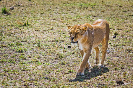 Lion in the wild in the African savannah. Lion - predator felines
