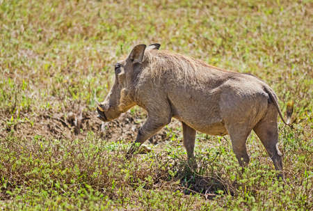 African warthog. Svinoobraznoe animals of the African savannah