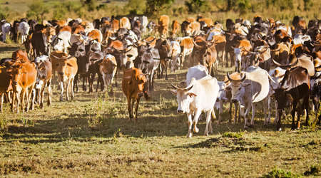 Herd of Jersey cows in the Natal Midlands, Africa Reklamní fotografie